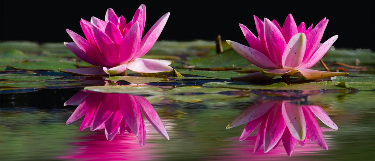 water-lilies-pink-water-lake-46231-2